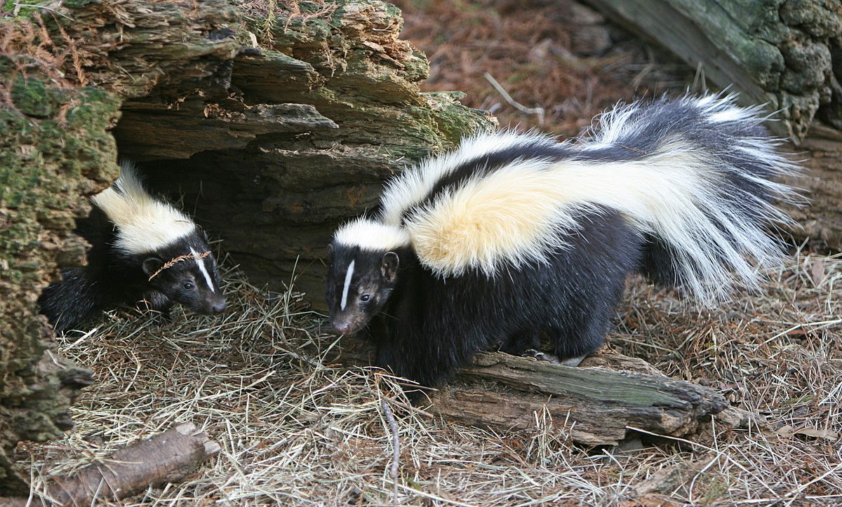 Recipe for pets sprayed by skunks